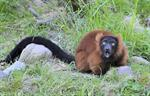 Red ruffed lemur (Varecia variegata rubra)